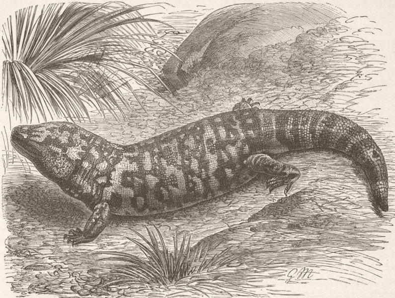 Associate Product ARIZONA. Arizona poisonous lizard 1896 old antique vintage print picture