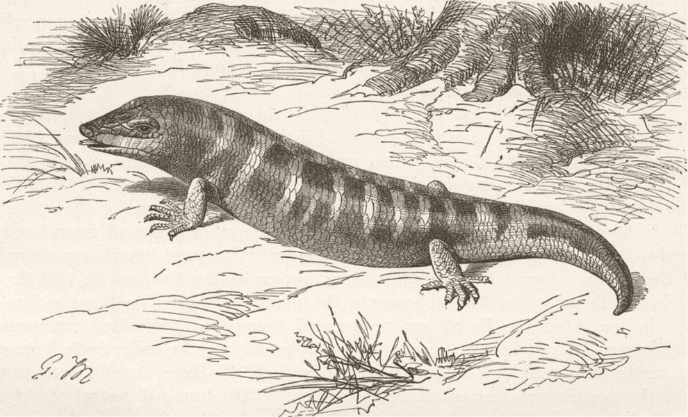 Associate Product REPTILES. Common skink 1896 old antique vintage print picture