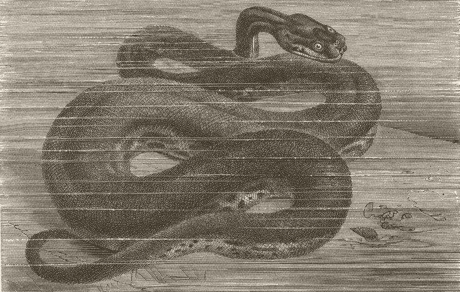 Associate Product ANIMALS. Javan wart-snake 1896 old antique vintage print picture