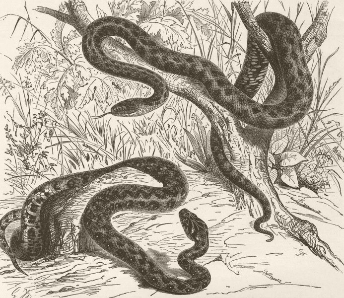 Associate Product ANIMALS. Viperine & tesselated snakes  1896 old antique vintage print picture