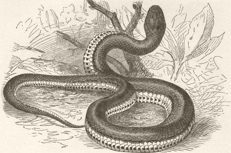 Associate Product ANIMALS. Keel-tailed snake 1896 old antique vintage print picture