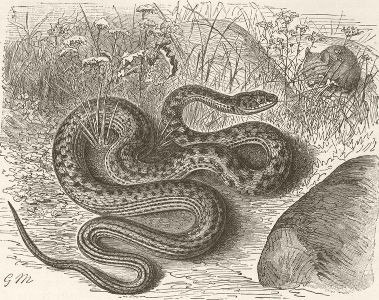 Associate Product ANIMALS. The dark green snake 1896 old antique vintage print picture
