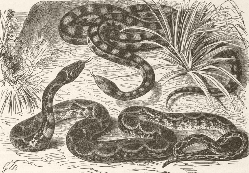 Associate Product ANIMALS. Black-marked & horseshoe-snakes  1896 old antique print picture