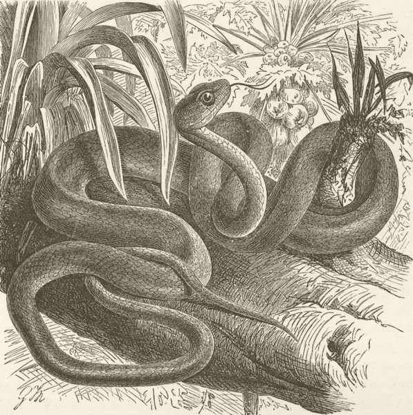 Associate Product ANIMALS. Sipo, or Brazilian wood-snake  1896 old antique vintage print picture
