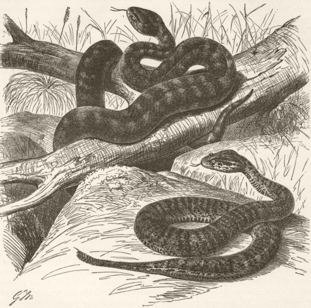 Associate Product REPTILES. Short death-adder & spine-tailed-  1896 old antique print picture
