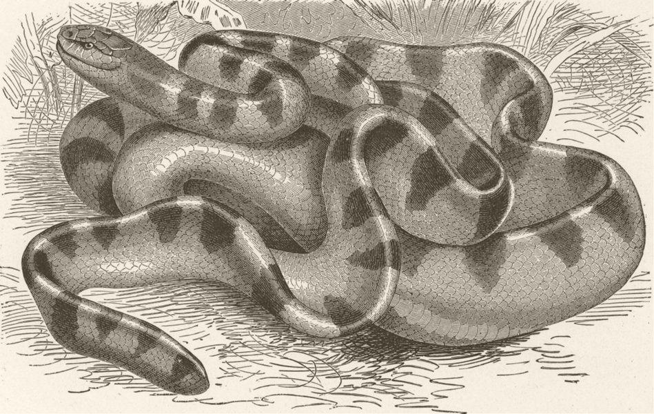 Associate Product SNAKES. Black-banded sea-snake 1896 old antique vintage print picture
