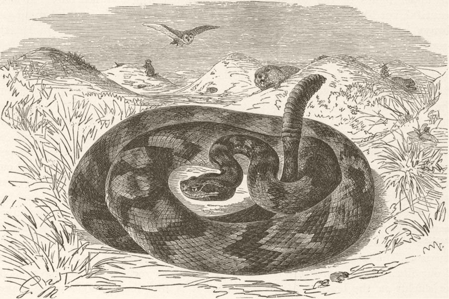 Associate Product ANIMALS. Common rattle-snake 1896 old antique vintage print picture