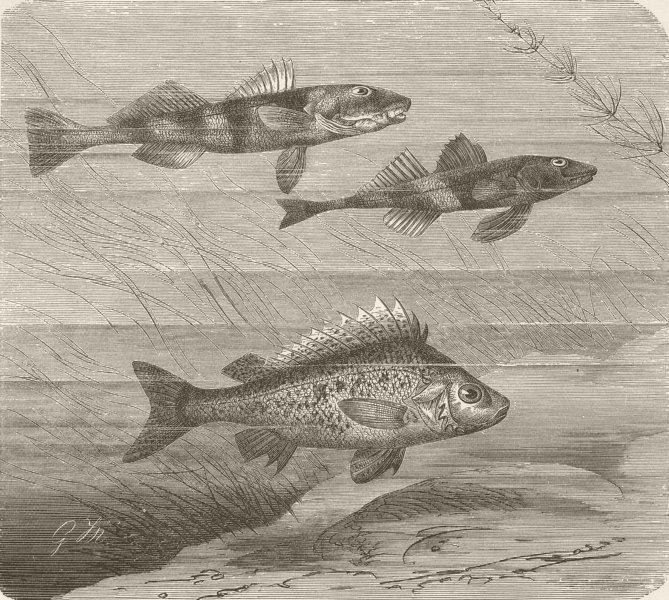 Associate Product FISH. Larger & smaller Danubian perches & ruffe  1896 old antique print