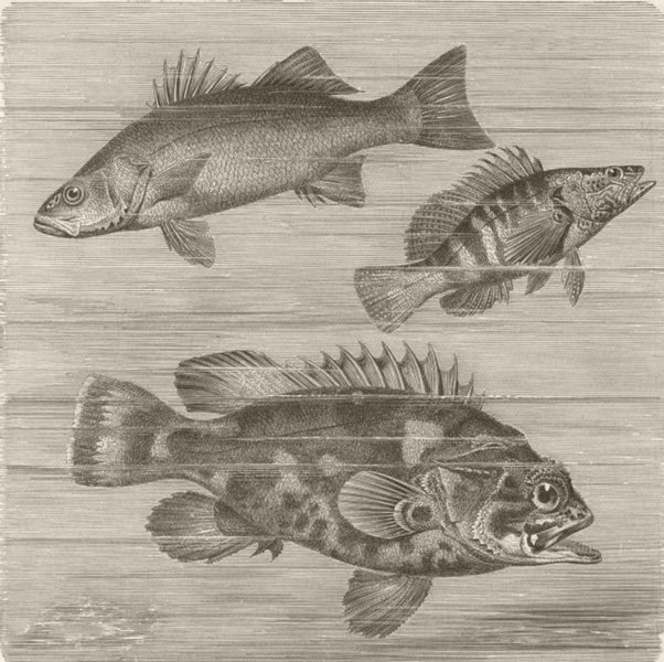 Associate Product FISH. Common bass sea-perch & stone-  1896 old antique vintage print picture