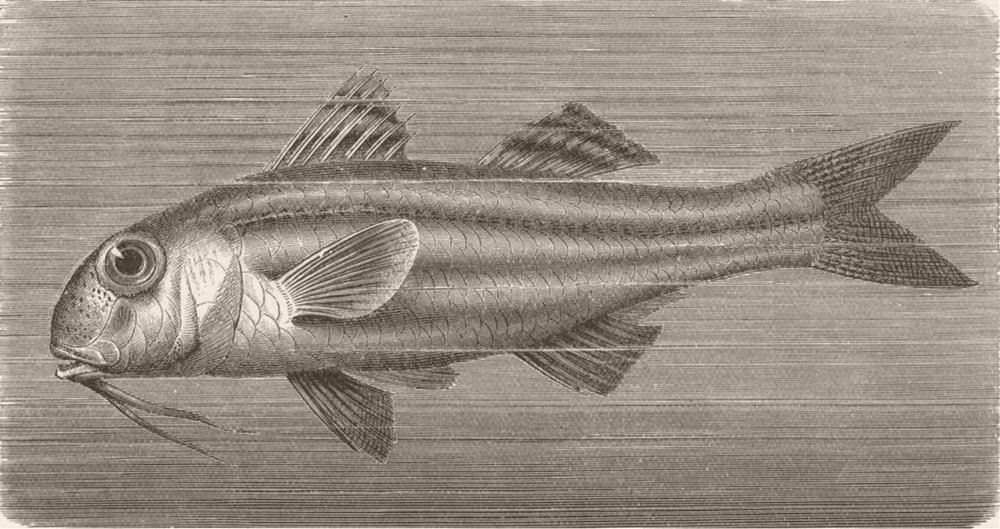 Associate Product FISH. Striped and mullet 1896 old antique vintage print picture