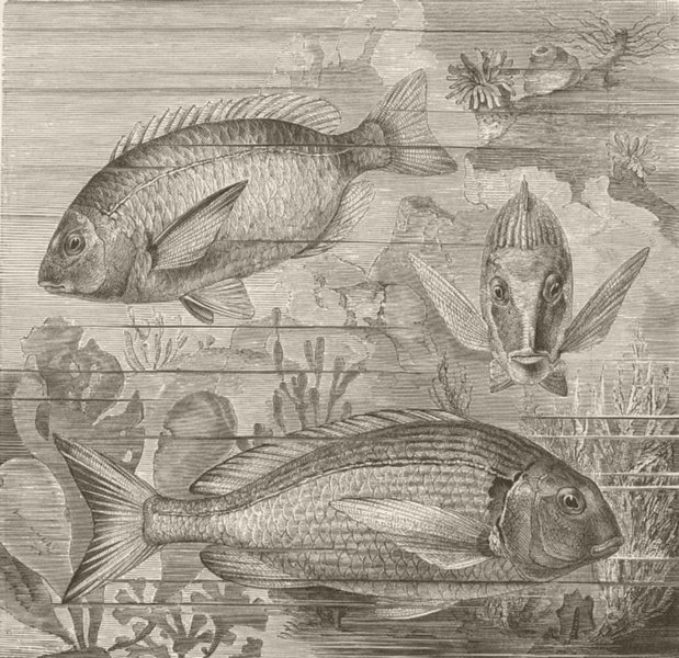 Associate Product FISH. Sargo and gilt-head 1896 old antique vintage print picture