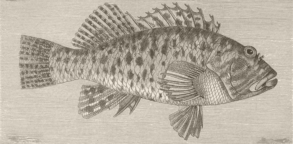 Associate Product FISH. Spotted firm-fin 1896 old antique vintage print picture