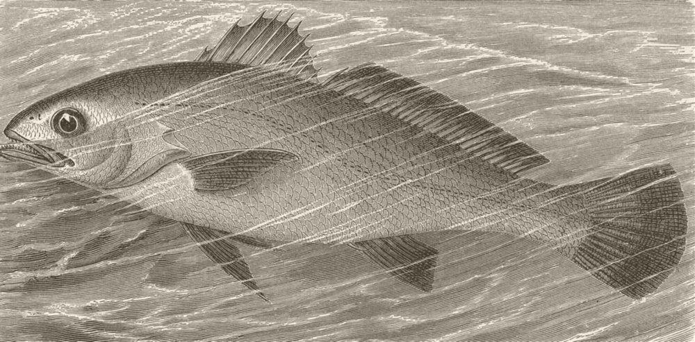 Associate Product FISH. Common meagre 1896 old antique vintage print picture