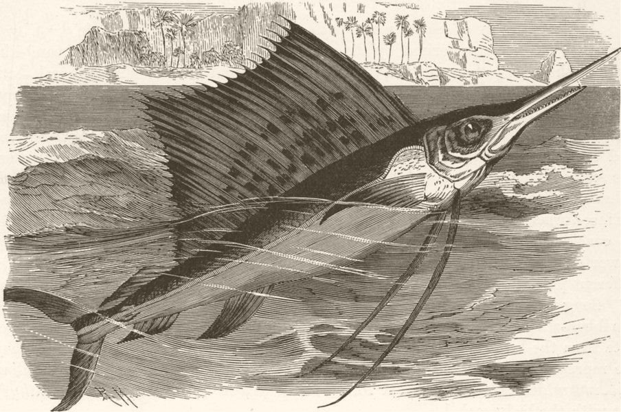 Associate Product FISH. Spotted Indian sword-fish 1896 old antique vintage print picture
