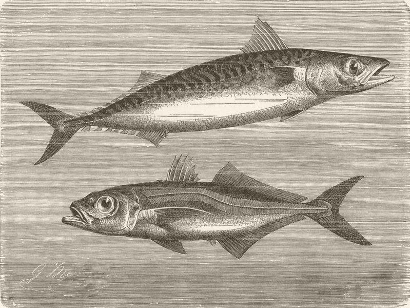 Associate Product FISH. Common mackerel & horse-  1896 old antique vintage print picture