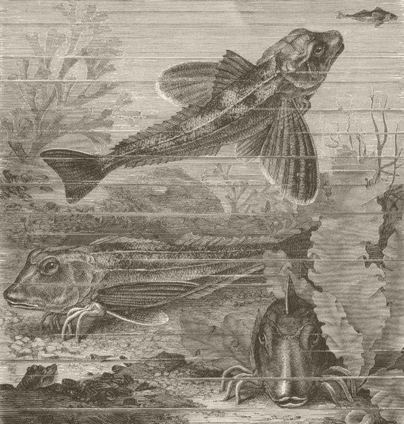 Associate Product FISH. Sapphirine gurnards 1896 old antique vintage print picture