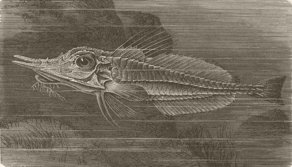 Associate Product FISH. Beaked gurnard 1896 old antique vintage print picture