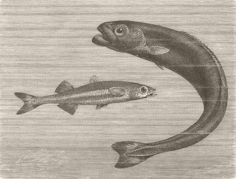 Associate Product FISH. Sand-smelt & Cuvier's Sq-tail  1896 old antique vintage print picture
