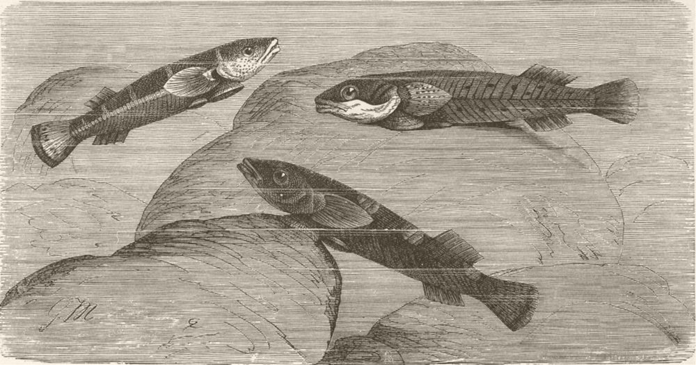FISH. Two-spotted sucker-fish 1896 old antique vintage print picture