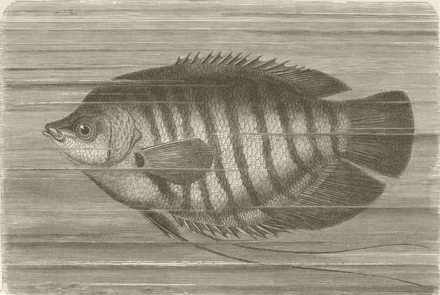 Associate Product FISH. The Gurami 1896 old antique vintage print picture