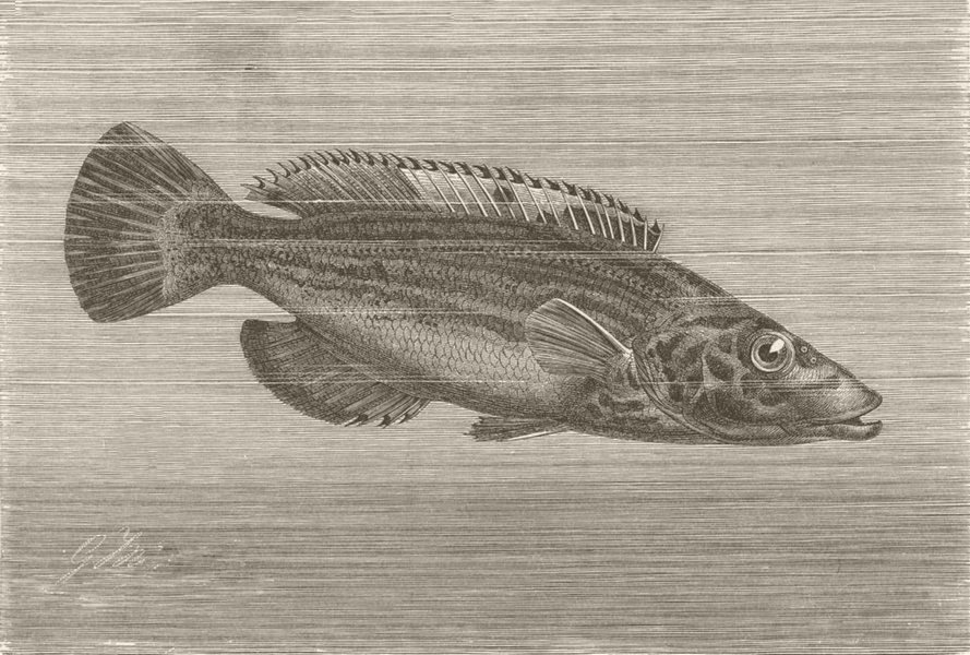 Associate Product FISH. Striped wrasse 1896 old antique vintage print picture