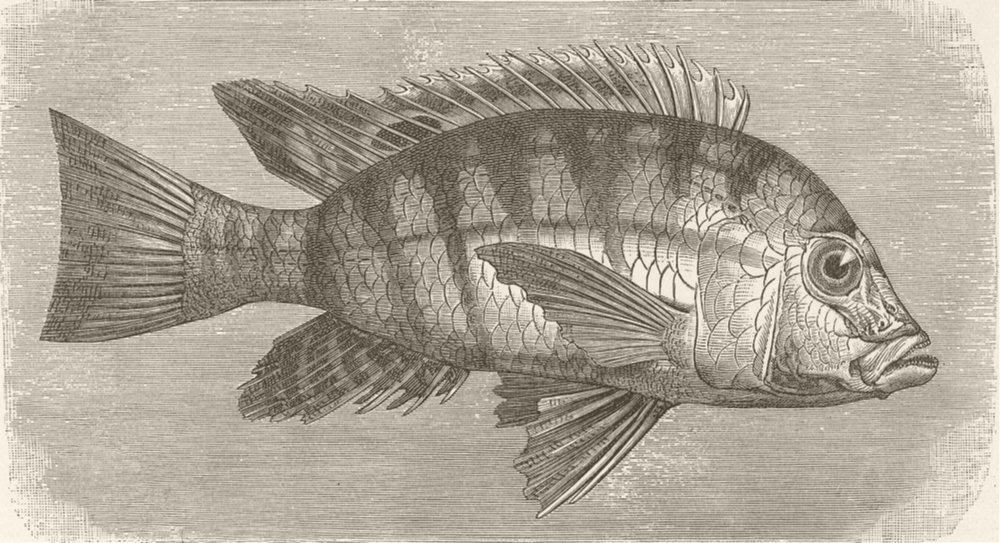 Associate Product FISH. Tristram's chromid 1896 old antique vintage print picture