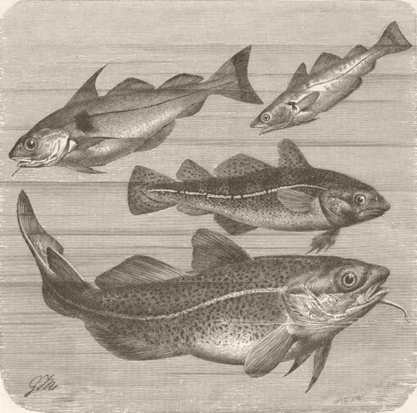 Associate Product FISH. Haddock, whiting & young & adult cod  1896 old antique print picture