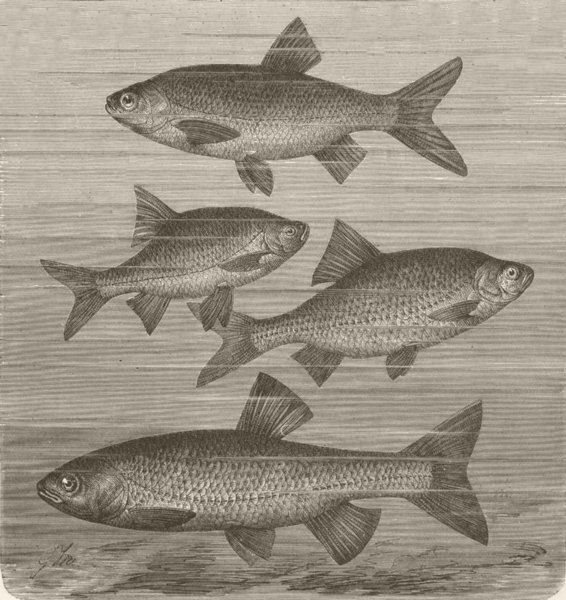Associate Product FISH. White. Ide, Rudd, roach & chub  1896 old antique vintage print picture