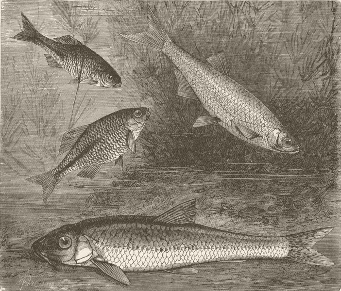 Associate Product FISH. Bitterling, bleak, and gudgeon 1896 old antique vintage print picture
