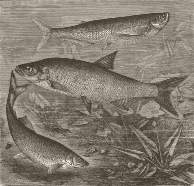 Associate Product FISH. Sichel, rapfen, and beaked carp 1896 old antique vintage print picture