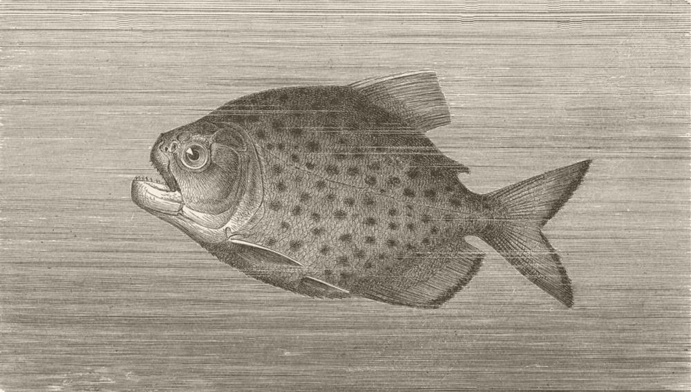 FISH. The Piraya 1896 old antique vintage print picture