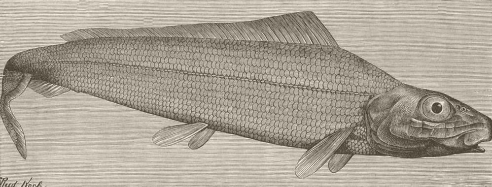 Associate Product FISH. Long-finned herring 1896 old antique vintage print picture