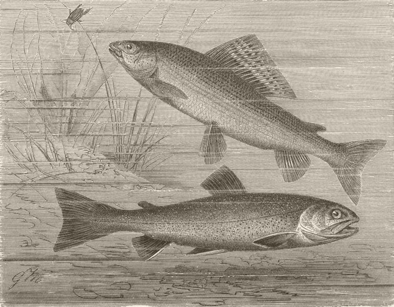 Associate Product FISH. Grayling and charr 1896 old antique vintage print picture