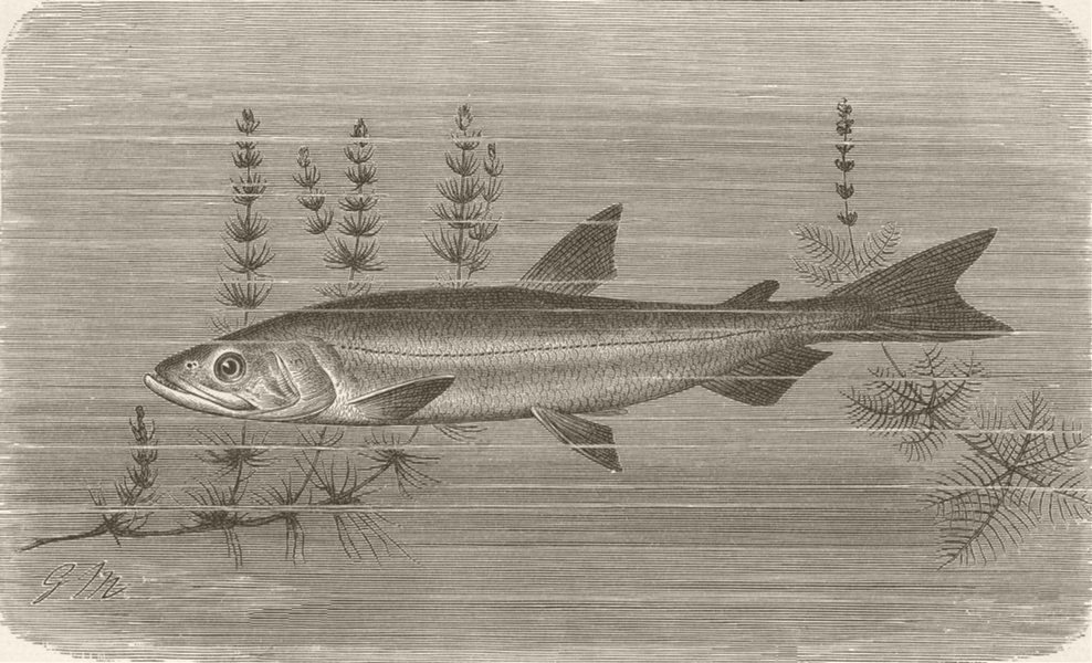 Associate Product FISH. Common smelt 1896 old antique vintage print picture