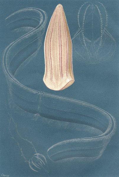 Associate Product FISH. Ctenophores 1896 old antique vintage print picture