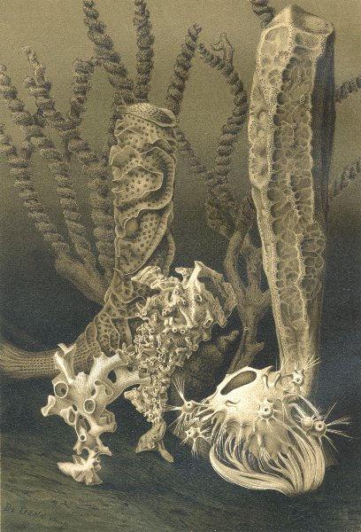 Associate Product SPONGES. Glass sponges 1896 old antique vintage print picture