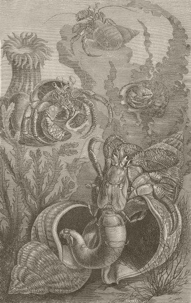 Associate Product CRUSTACEANS. Hermit crabs 1896 old antique vintage print picture
