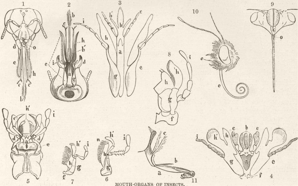 Associate Product INSECTS. Mouth-organs of insects 1896 old antique vintage print picture