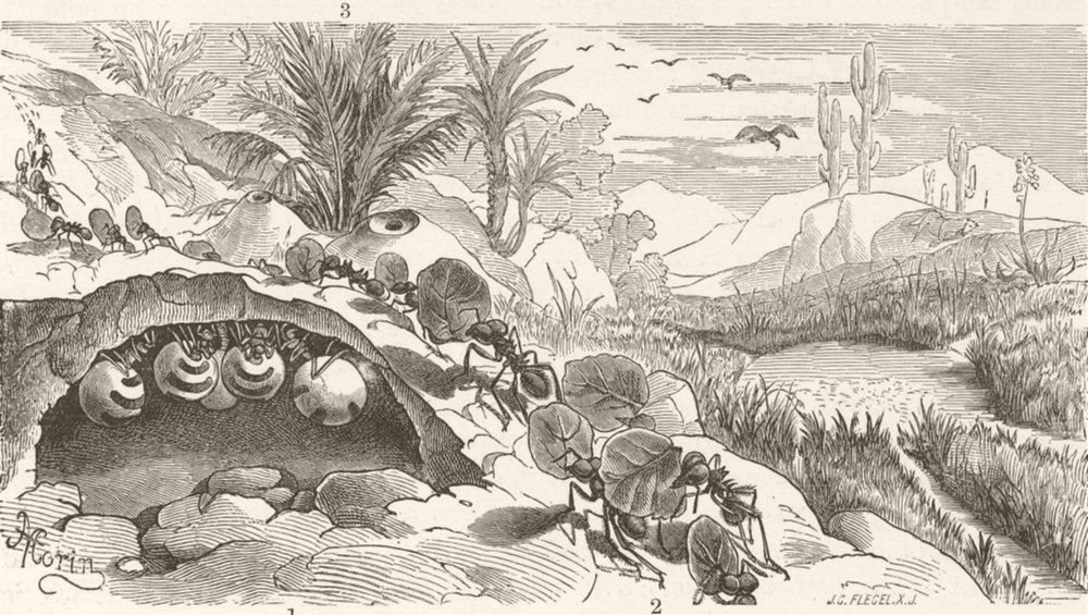 Associate Product ANTS. Honey-pot ant; Parasol ants marching; husbandmen ants dwelling 1896