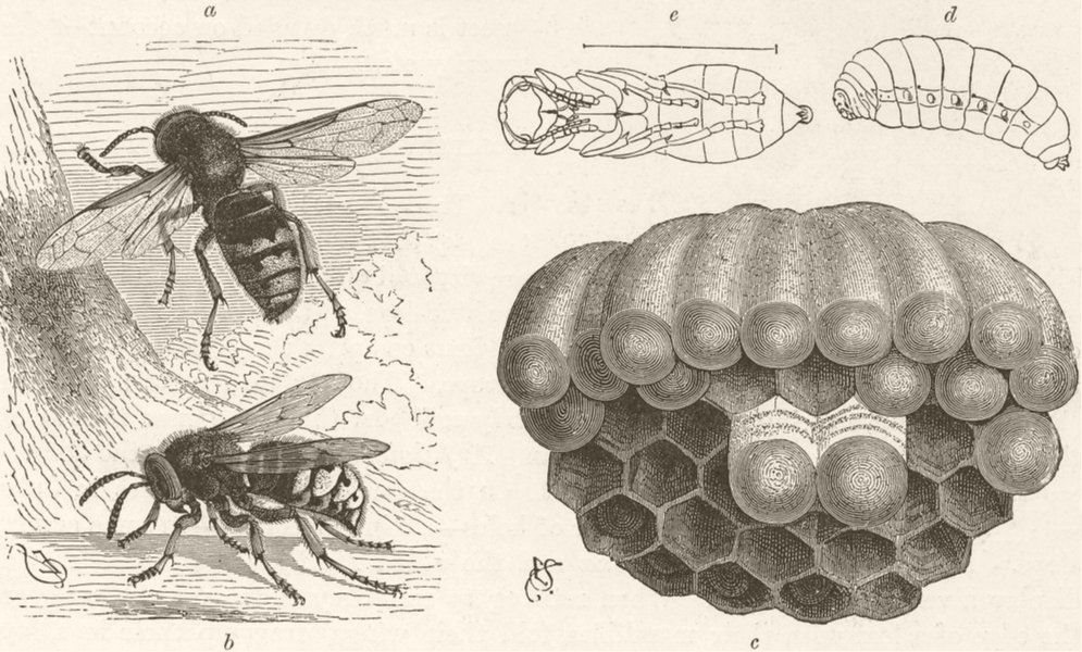 Associate Product INSECTS. Life of the hornet. Adult; brood-cells; Larva; Pupa 1896 old print