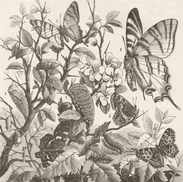 Associate Product LEPIDOPTERA. Tropical butterflies 1896 old antique vintage print picture