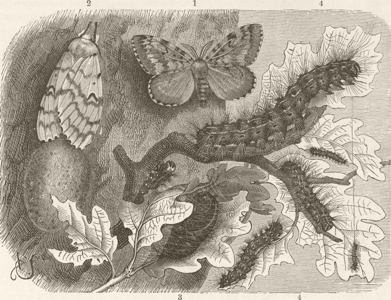 Associate Product LEPIDOPTERA. Development of gipsy-moth 1896 old antique vintage print picture