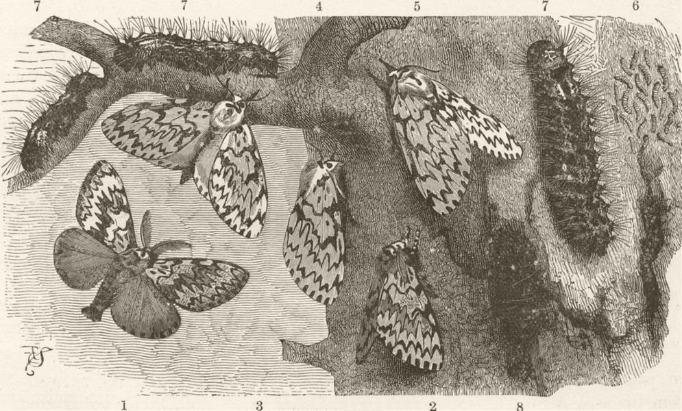 Associate Product LEPIDOPTERA. Black-arches moth 1896 old antique vintage print picture