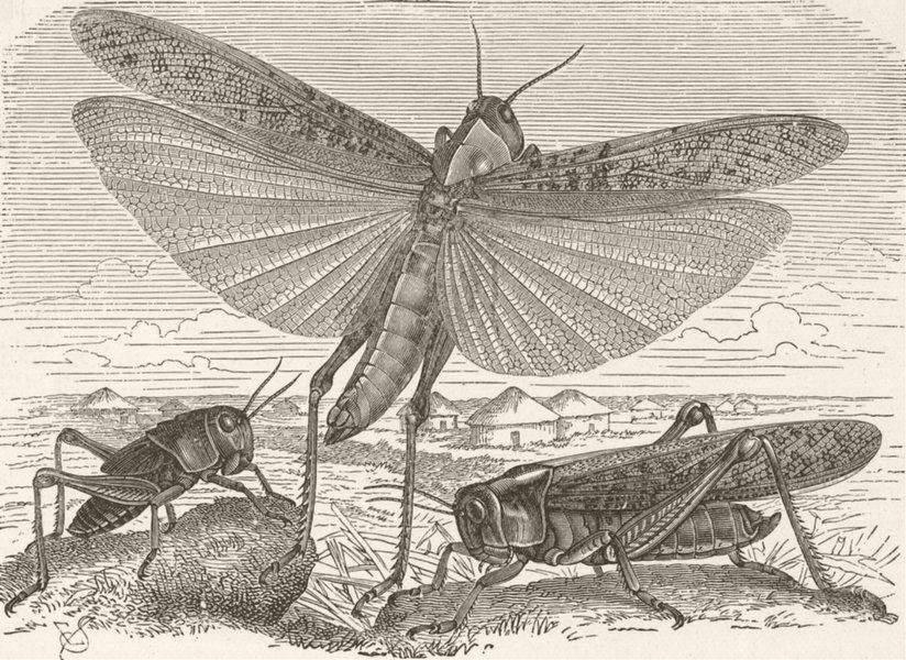Associate Product INSECTS. Migratory locust of south east Europe  (Pachytylus migrations)   1896