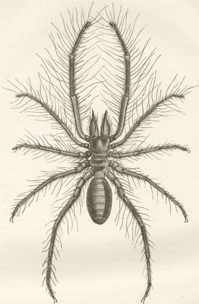 Associate Product INSECTS. Male of Persian false spider, Galeodes 1896 old antique print picture