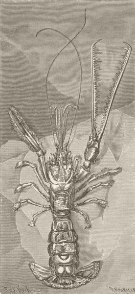 Associate Product CRUSTACEANS. One-clawed lobster, Thaumastocheles zeleuca 1896 old print