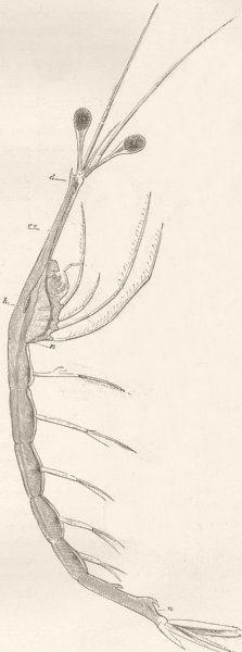 Associate Product CRUSTACEANS. Long-necked shrimp, Leucifer 1896 old antique print picture
