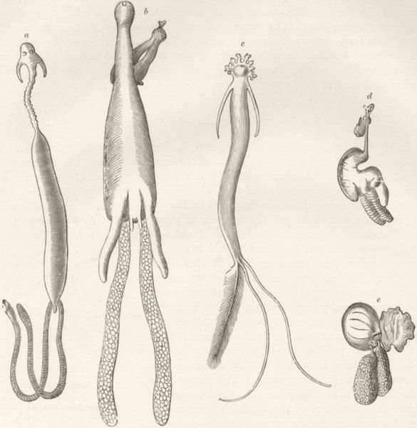 Associate Product CRUSTACEANS. Fish-lice 1896 old antique vintage print picture