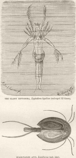 Associate Product CRUSTACEANS. Glassy Leptodora; Scale-tailed apus, Lepidurus 1896 old print