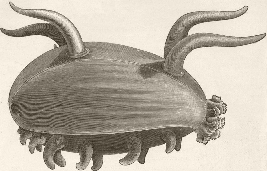 Associate Product ECHINODERMATA. Deep-sea holothurian, Scotoplana 1896 old antique print picture